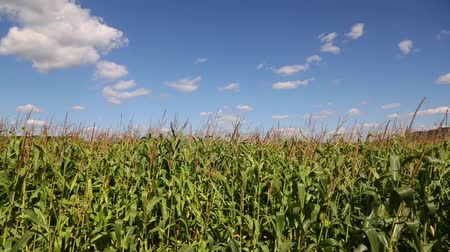 кукуруза : Corn field and sky with beautiful clouds