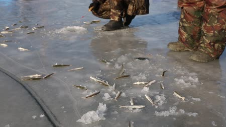 shishamo : Fishermen catch smelt from under the ice on the river in winter. December, temperatures -7 C. Primorsky Krai, Far East, Russia.