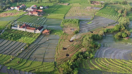 плантация : Green rice terrace and agricultural land with crops. farmland with rice fields agricultural crops in countryside Indonesia,Bali, aerial view Стоковые видеозаписи