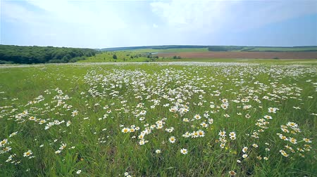 stokrotki : field of daisies and blue sky
