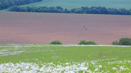 kamilla : adult stork is flying above the field of daisy flowers