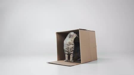 полосатый : Cat with cardboard box on white background