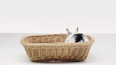 proutěný : cute spotted rabbit wiggling nose, sitting and moving in basket on white background