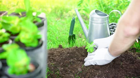 watering can : partial view of gardener in gloves planting sprout in ground in garden Stock Footage