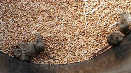 rodent control : Lots of young mice living in wheat storage container - rodent infested granary, top view Stock Footage