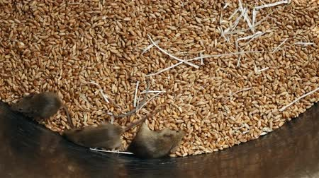 hijenik olmayan : Lots of young mice running around in wheat storing container - rodent infested granary, top view Stok Video