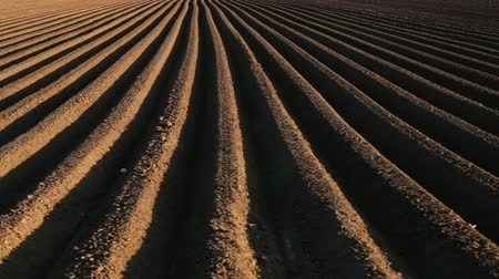sow : Potato field in spring with long lines running to the horizon - camera moves near sowing rows on farmland