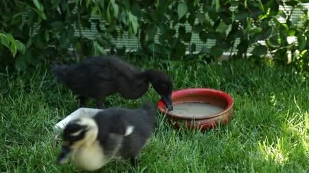 waddling : Cute ducklings taking turns drinking water and returning to eat in the fresh grass