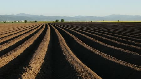 papa : Potato field in spring - camera moves near sowing rows running to horizon on farmland Vídeos