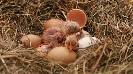csajok : Two chicken resting after hatching from the eggs in a hay nest - with their fluff still wet, closeup Stock mozgókép