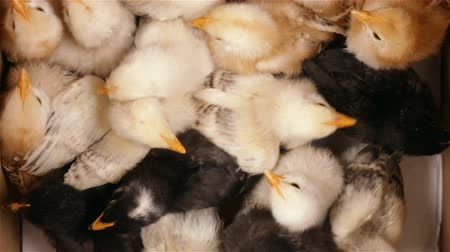 csaj : Few days old chicken in a crowded box, animal farming - top view, closeup Stock mozgókép