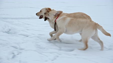 nibble : Young labrador retriever teasing her mother running in the snow and nibble on her collar