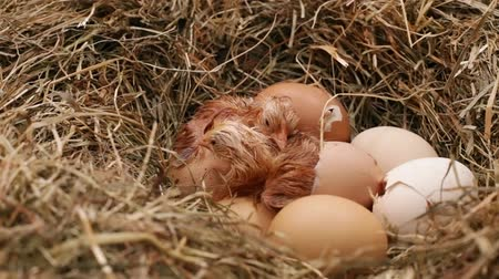 оболочка : Two chicken hatching from the eggs in a hay nest - with their fluff still wet, third one cracking the egg with beak
