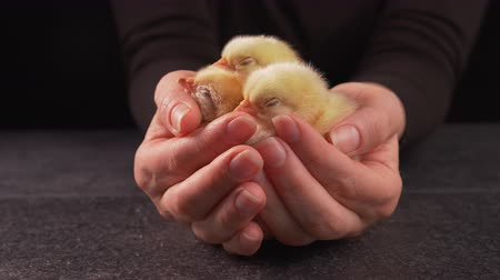 pecuária : Woman hands holding newborn fluffy chickens sleeping nested in the palm - close up, slow camera slide