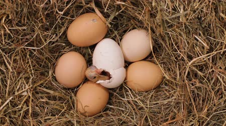 casca de ovo : One chicken hatching from the egg in a hay nest - with fluff still wet, time lapse, top view Stock Footage