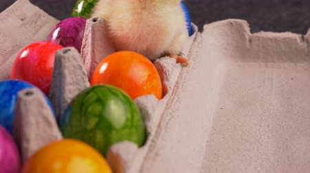 drůbež : Yellow newborn chicken sitting in eggs carton full of colorful dyed easter eggs - springtime holiday concept, close up, camera approach, zoom in