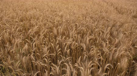 tüskék : Camera rising from soil level revealing wheat field - ripe sea of cereals ready to harvest Stock mozgókép