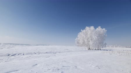 Isolated trees cluster on the winter open field covered in frost - beautiful frozen landscape with blue sky and sunshine - camera pan