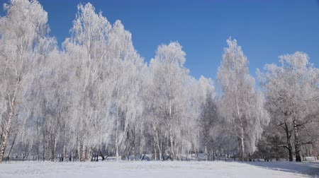 Trees in the bright cold winter day covered in frost - beautiful frozen forest edge with blue sky and sunshine - camera pan