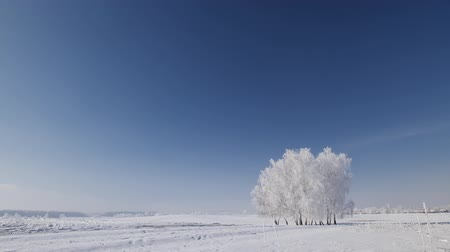 Isolated trees cluster on the winter open field covered in frost - beautiful frozen landscape with blue sky and sunshine - camera tilt down Stok Video