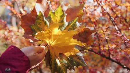 Woman hand holding colorful autumn leaves against fall foliage with sun breaking through - slow motion
