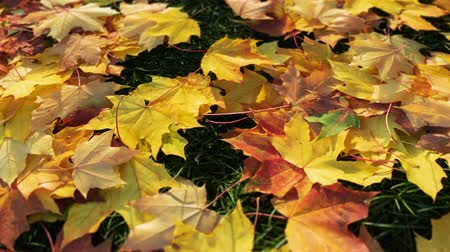 Yellow autumn leaves scattered on green grass, perspective view - camera slowly move forward