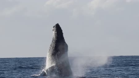 whale : Extremely rare shot of a full Humpback Whale breach. Super slow motion.