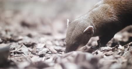 termite : Portrait of a Mongoose as it scavenges the forest floor. Stock Footage