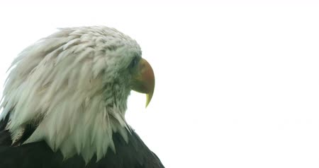 captivity : Portrait of an American Bald Eagle.
