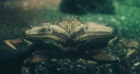 sempre viva : Cinematic portrait of a Dungeness Crab. 4K Broadcast quality footage.