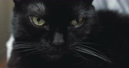 Ко : A spooky looking black cat staring at camera. 4K.