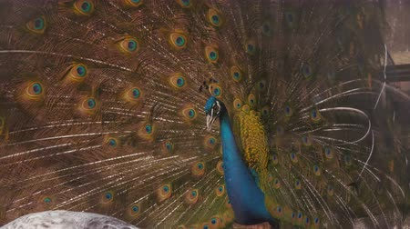 çiftleşme : Peacock attempts to lure a mate. 4K UHD.