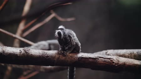 primaz : Portrait of a common marmoset or white-eared marmoset on a branch at dusk.