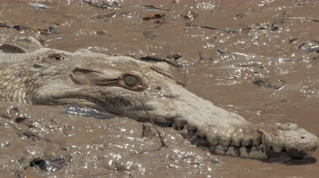 alligator head : Wild crocodile filmed on a boat touring a Costa Rica river.  4K UHD footage.