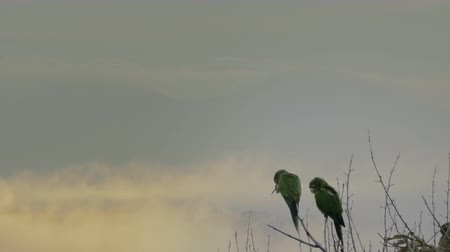 papuga : Pair of wild Parakeets socializing in a rain forest. Wideo