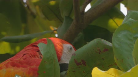 papuga : Non-captive Macaw foraging a tree for seeds. 4K fooatge.