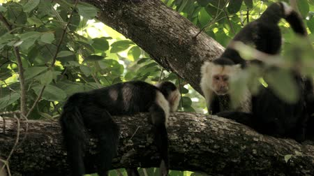 evrim : Wild Costa Rica White Faced Monkeys Relaxing in the Rainforest. 4K footage. Stok Video