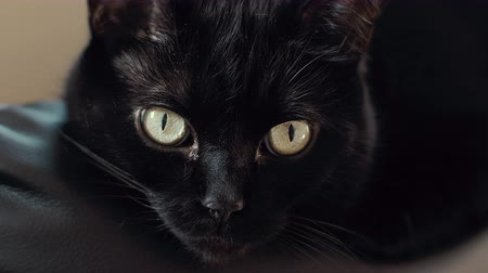 ronronar : UHD cinematic footage of a black cat. Stock Footage