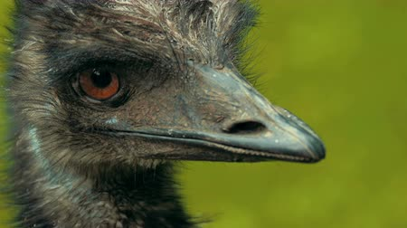 yüksek çözünürlüklü : An every close shot of an emu. Stok Video