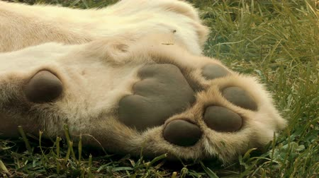 tlapky : The paw of a sleeping white lion.