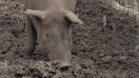 sow : Muddy pig in 4K UHD. Stock Footage
