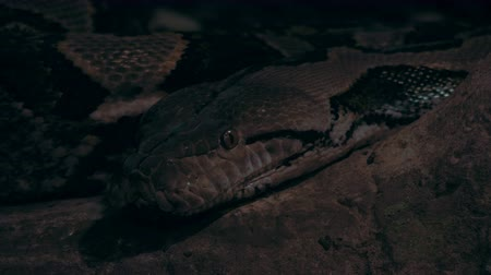 invasive : A panning shot of a boa constrictor.