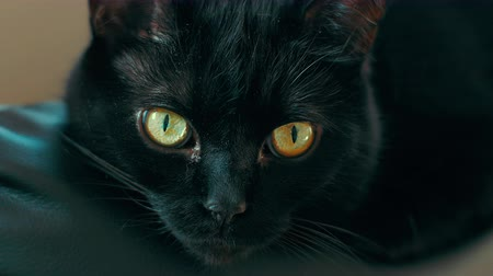 ronronar : Loopable UHD 4K footage of a black cat with yellow eyes.