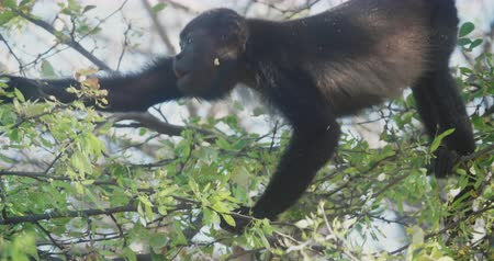 monkey : 4K Wild Howler Monkeys Foraging Leaves in a Costa Rica Rainforest. Cinematic footage.