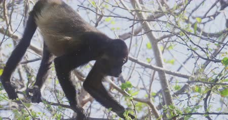 primaz : 4K Wild Howler Monkeys Foraging Leaves in a Costa Rica Rainforest. Cinematic footage.
