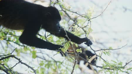 jíst : 4K Wild Howler Monkeys Foraging Leaves in a Costa Rica Rainforest. Cinematic footage.