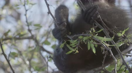 howler monkey : 4K Wild Howler Monkeys Foraging Leaves in a Costa Rica Rainforest. Cinematic footage.