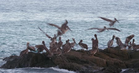 feathered : 4K Incredible wildlife footage of Pelicans feeding off a beach in Costa Rica. Cinematic look and feel. Stock Footage