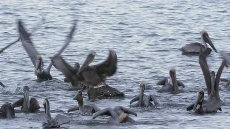 pelicans : 4K Incredible wildlife footage of Pelicans feeding off a beach in Costa Rica. Cinematic look and feel. Stock Footage