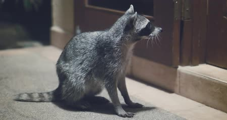 fofinho : Raccoon (Procyon lotor) scavenging for food at night. Rare footage. Stock Footage